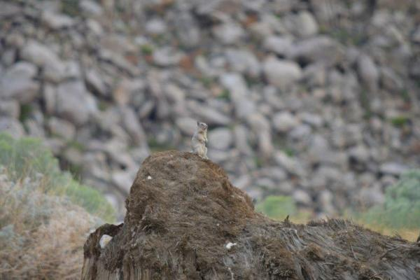 A california ground squirrel stands guard for predators.